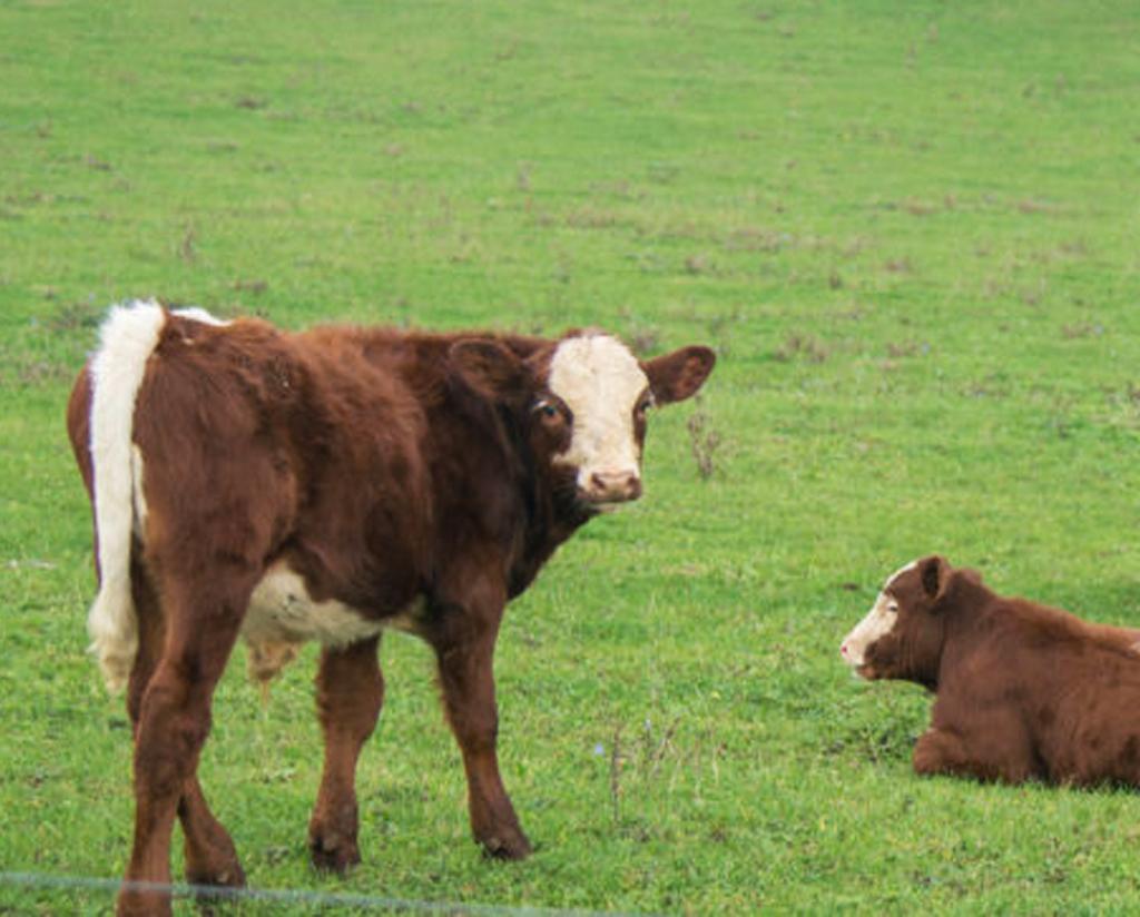 Zwei Kühe auf Weide