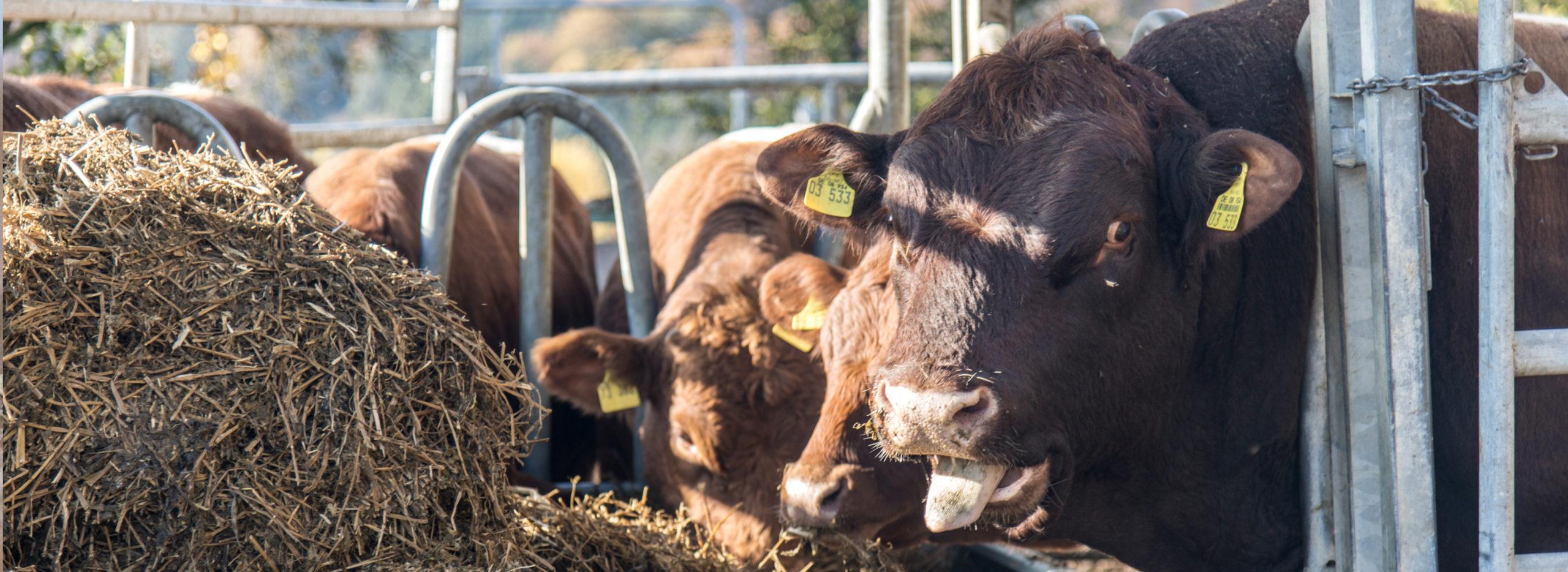 Kühe an der Futterstelle auf Bauernhof
