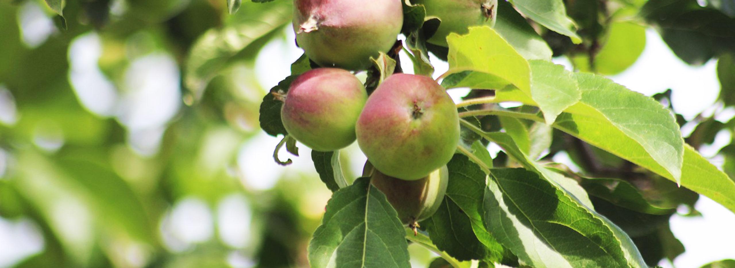 Äpfel am Apfelbaum