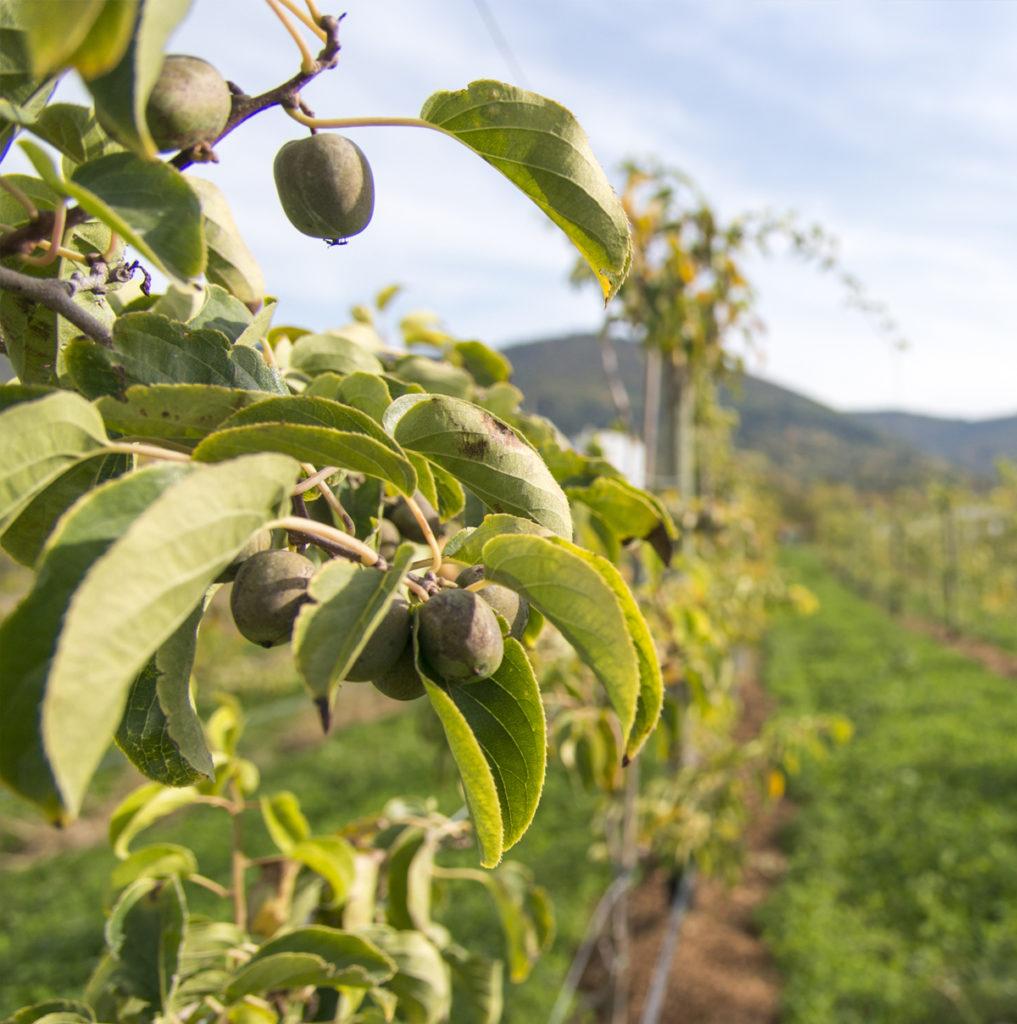 Apfelbaum Spalier