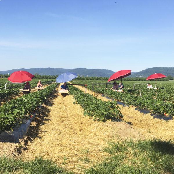 Erdbeerfeld Jost Landwirtschaft